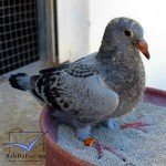 evolution-to-pigeon-150x150.jpg