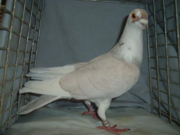 Adult rare colored homing pigeons for sale  - Pigeon-Talk