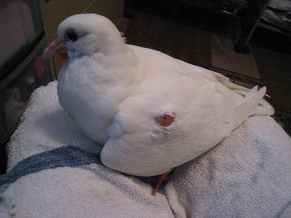 Baby King Pigeon with Wing issue - Pigeon-Talk
