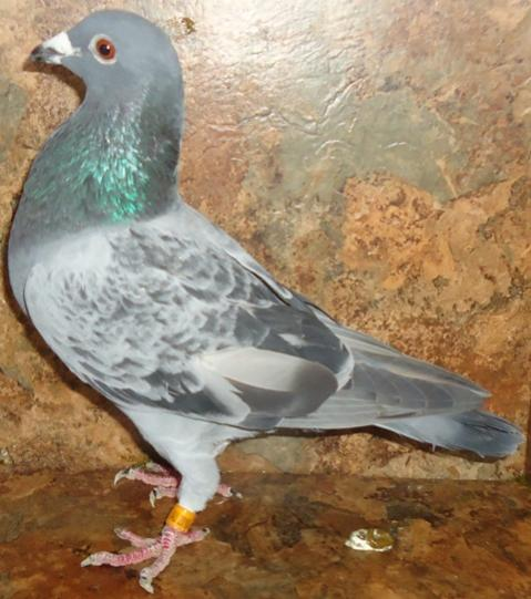 Sale on Blue Check and Blue Bar Racing Homers  - Pigeon-Talk