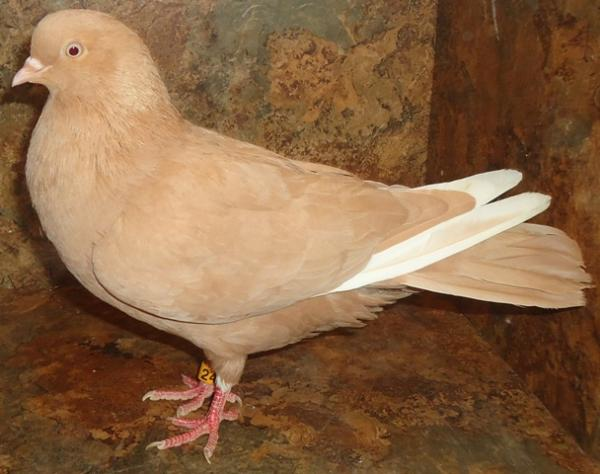 Birmingham Rollers For Sale Pigeon Talk