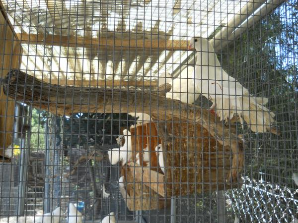 ring neck doves and fantail pigeons for sale in Southern CA - Pigeon